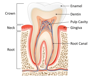 image of root canal